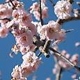 Momo Blossom